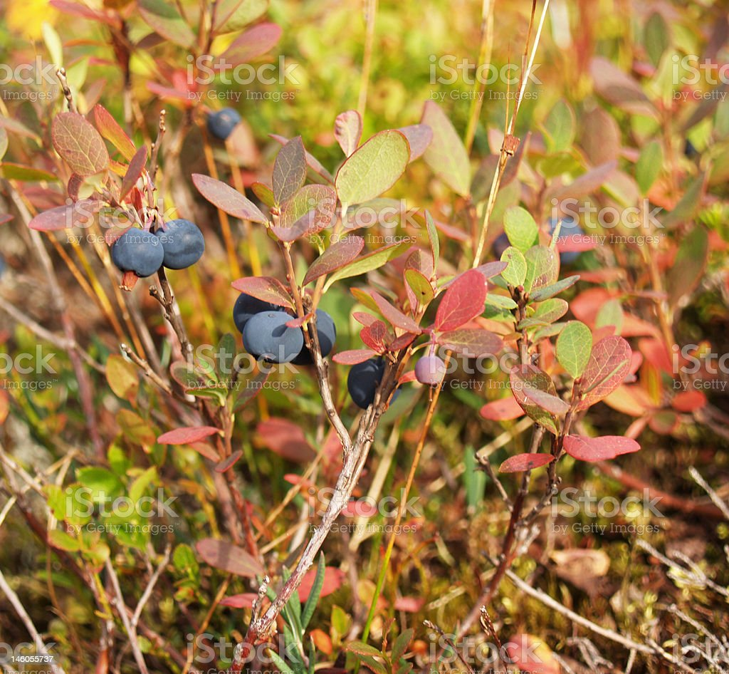 Wild blueberries royalty-free stock photo