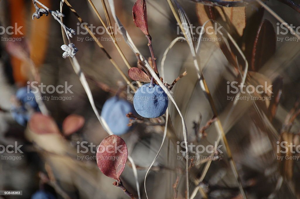 Wild Blueberries royalty-free stock photo