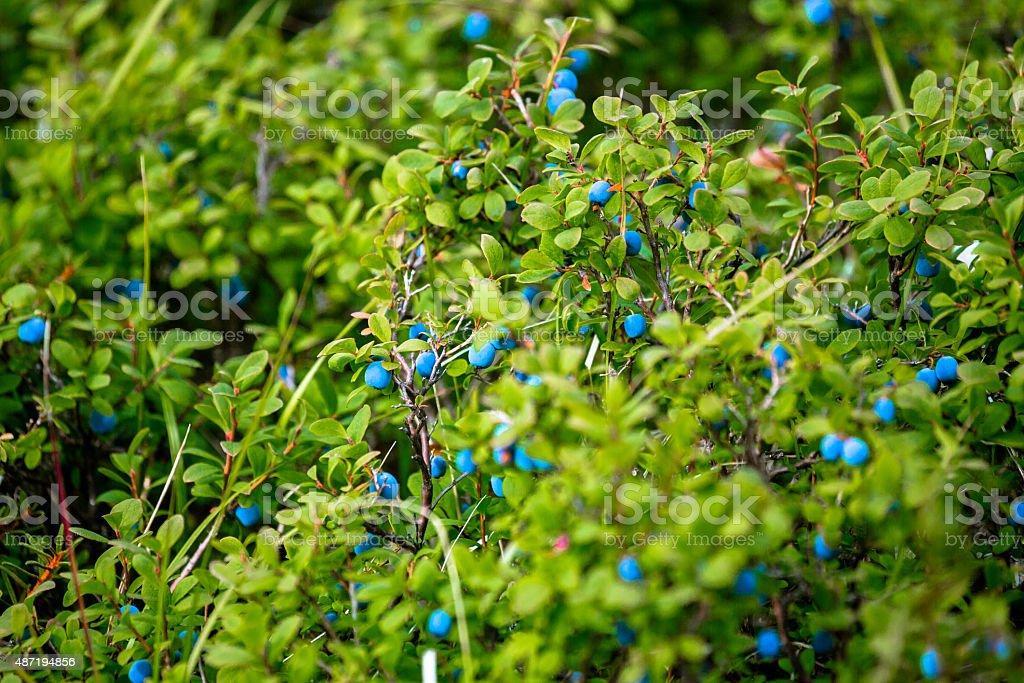 Wild Blueberry stock photo