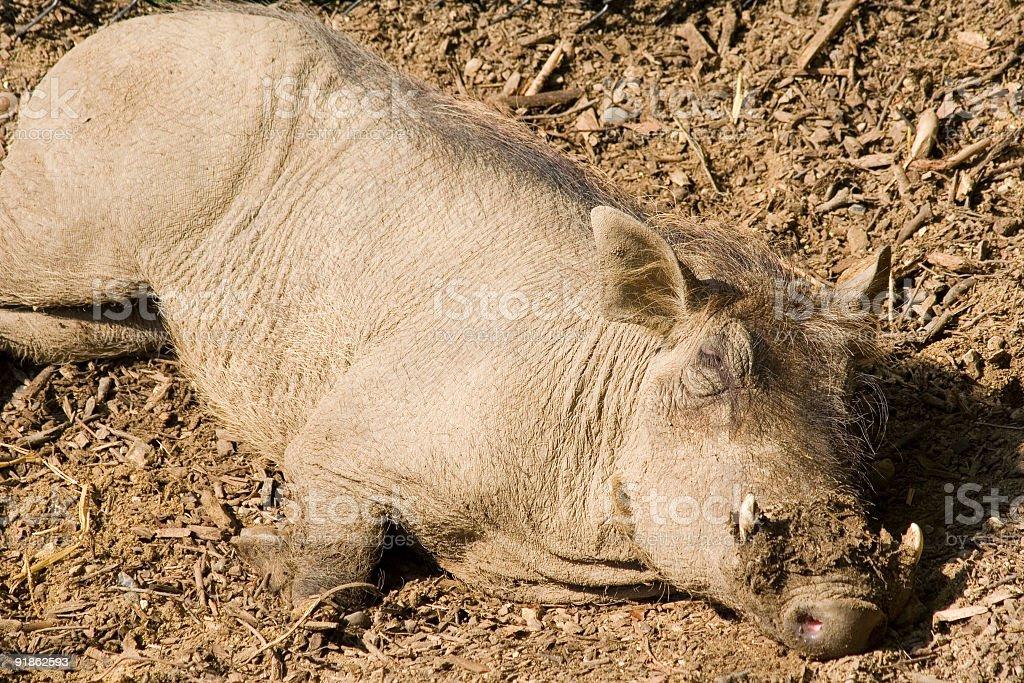 Wild Boar 3 royalty-free stock photo