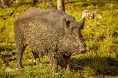 Wild boar after a mud bath in Quebec, Canada.