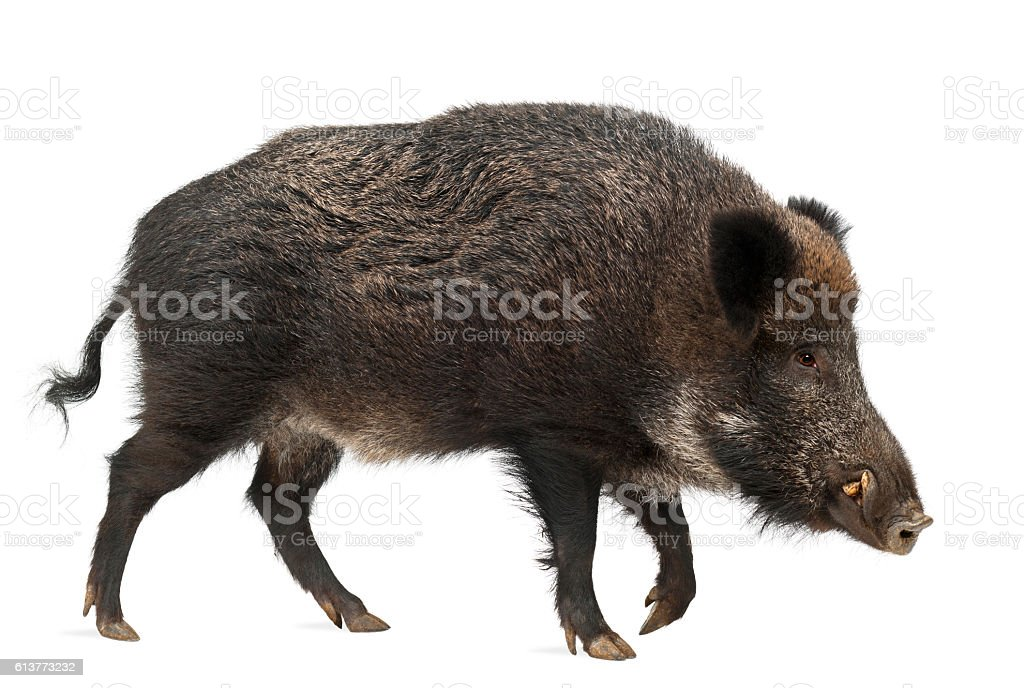 Wild boar, also wild pig, Sus scrofa, 15 years old, stock photo