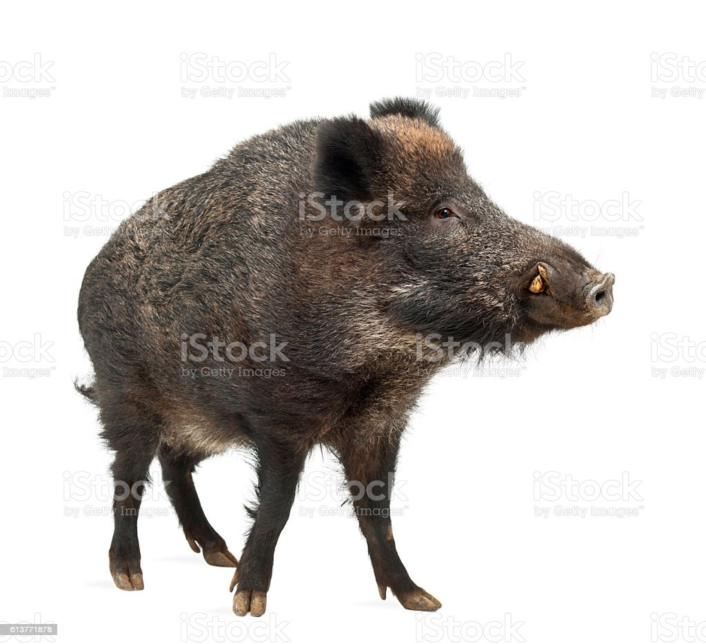 Wild boar, also wild pig, Sus scrofa standing stock photo