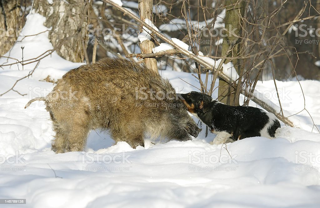 Wild boar and dog. royalty-free stock photo