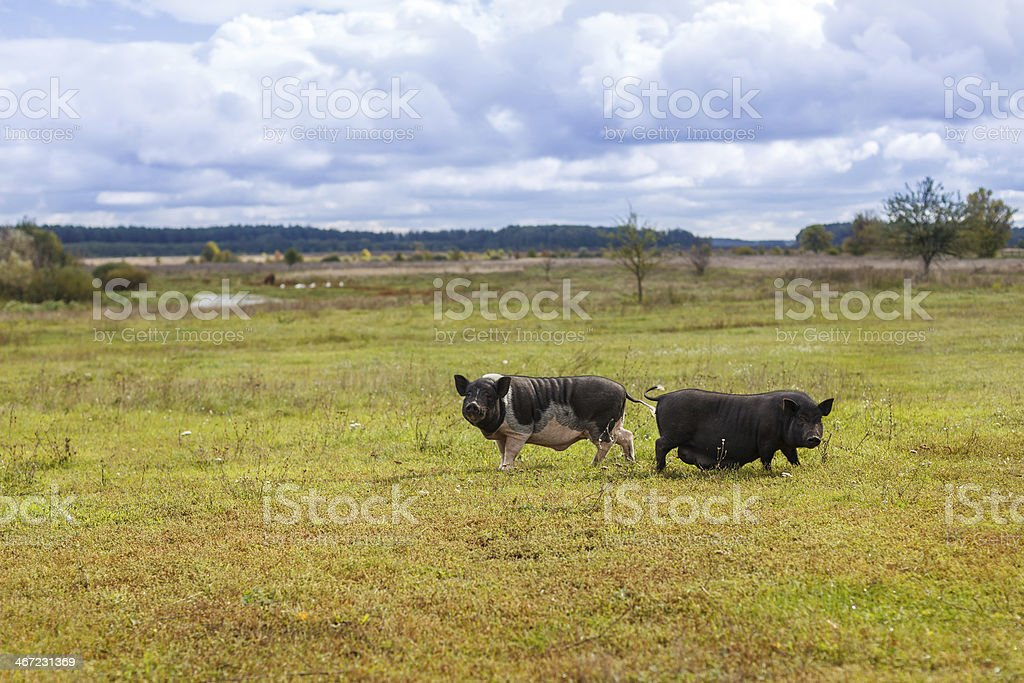 Wild boar and pig stock photo