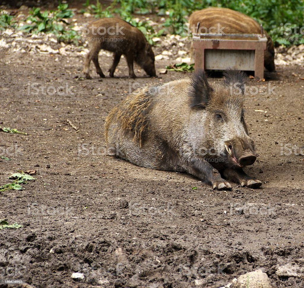 Wild boar and piglets stock photo