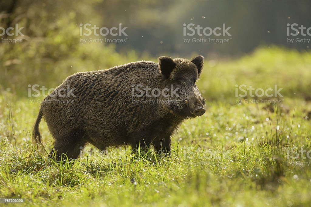 Wild boar, backlit, foraging for apples stock photo