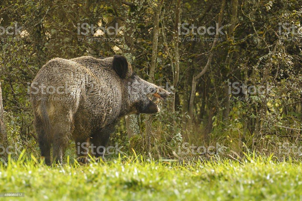 Wild boar, eating fallen apples stock photo