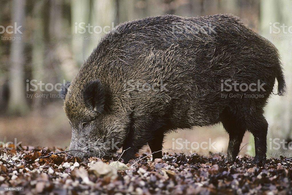 Wild Boar Eating stock photo