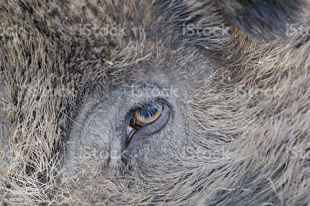 Wild boar eye stock photo