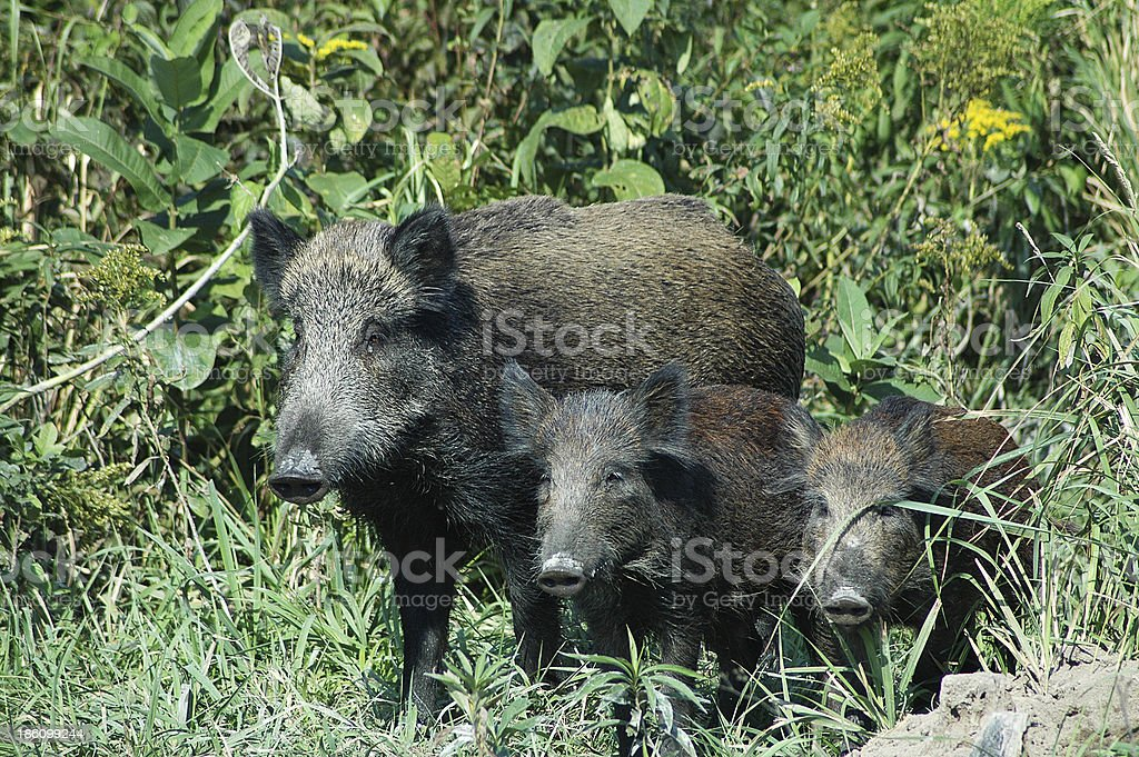 Wild boar family royalty-free stock photo