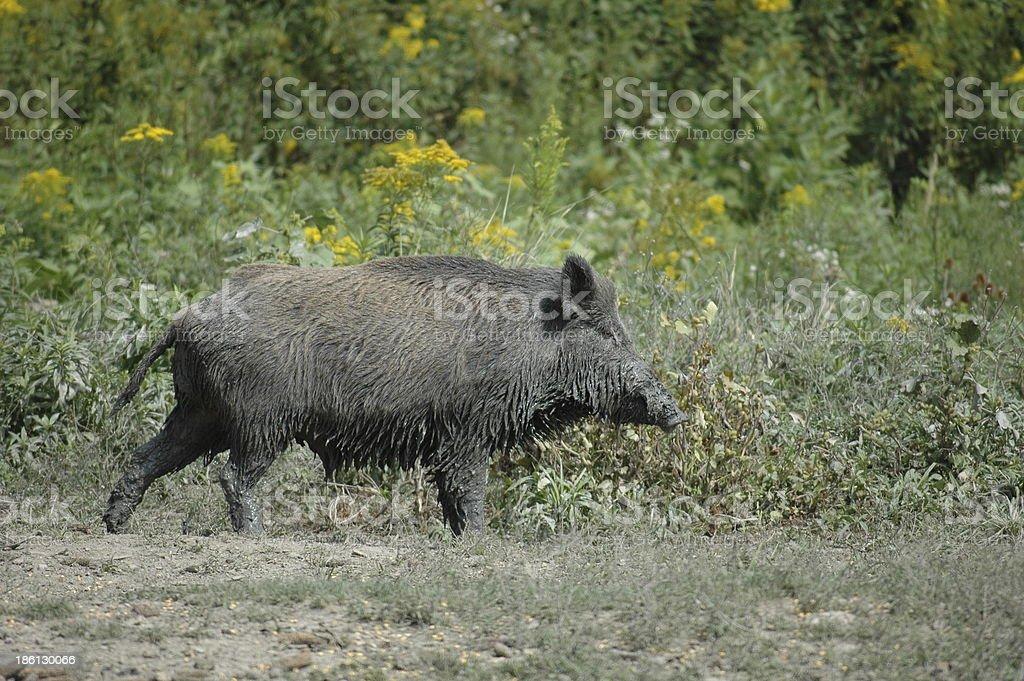 Wild boar family royalty-free stock photo