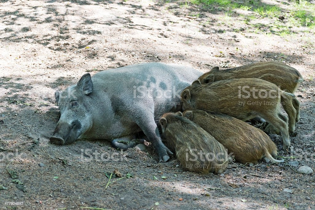 wild boar family, sus scrofa, mother and piglets suckling stock photo