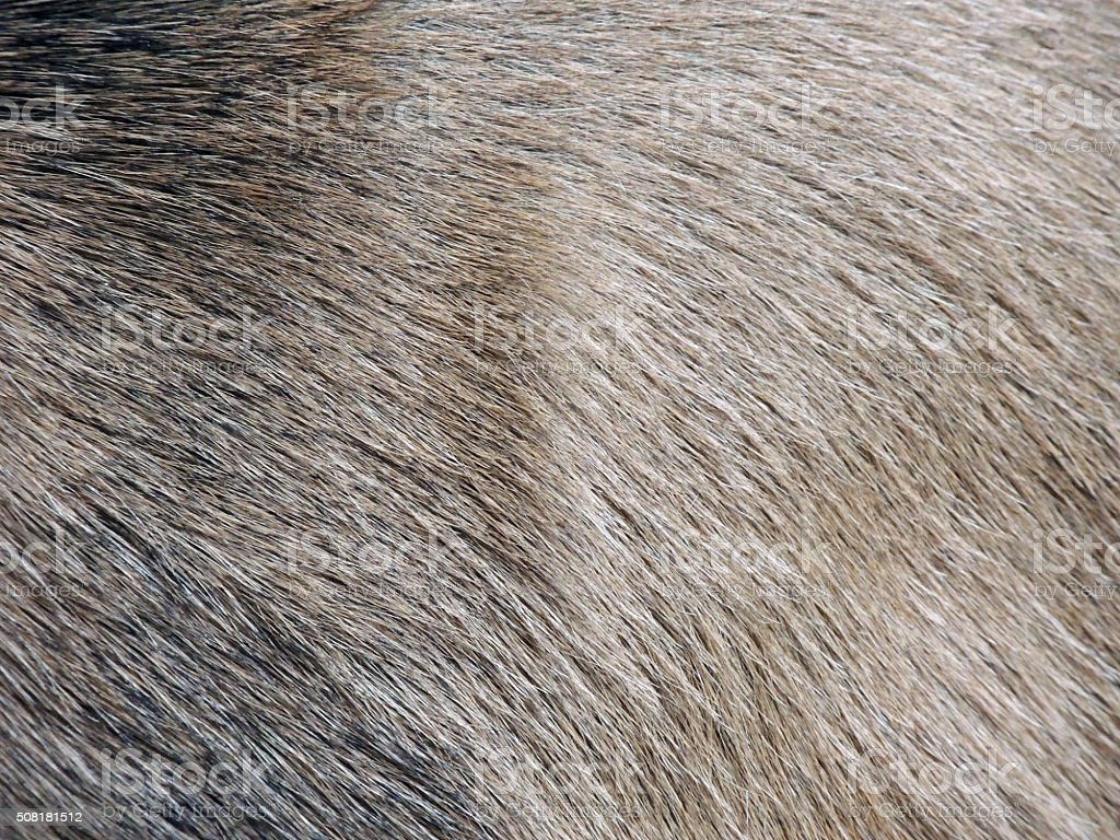 Wild Boar Hair stock photo