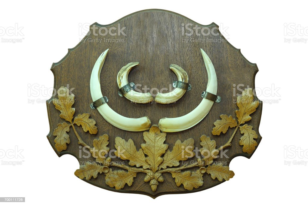 wild boar hunting trophy mounted on wood display stock photo