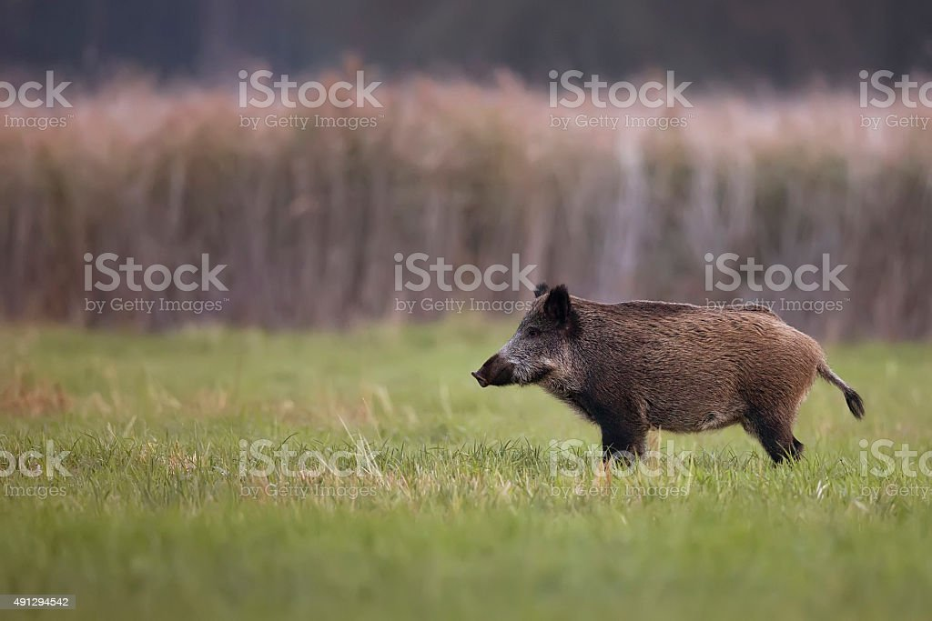 Wild boar in a clearing stock photo
