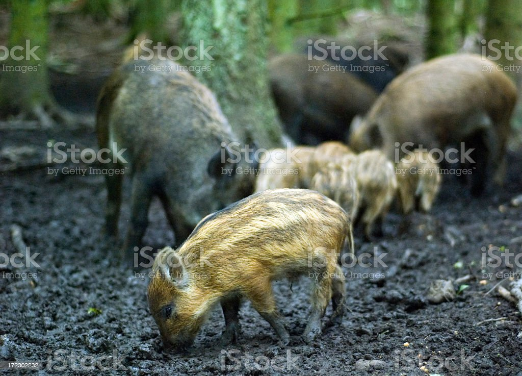 Wild Boar in a Forest stock photo