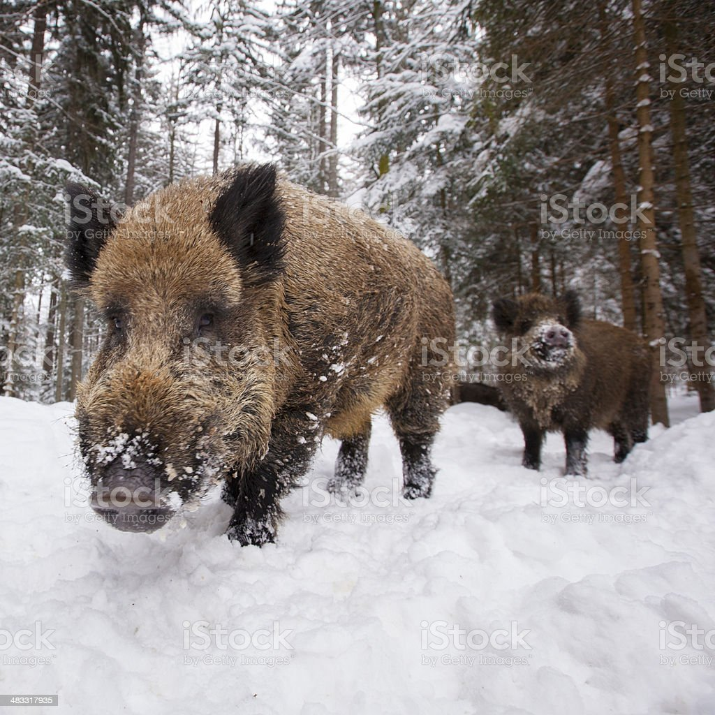 wild boar in a row at wintertime stock photo