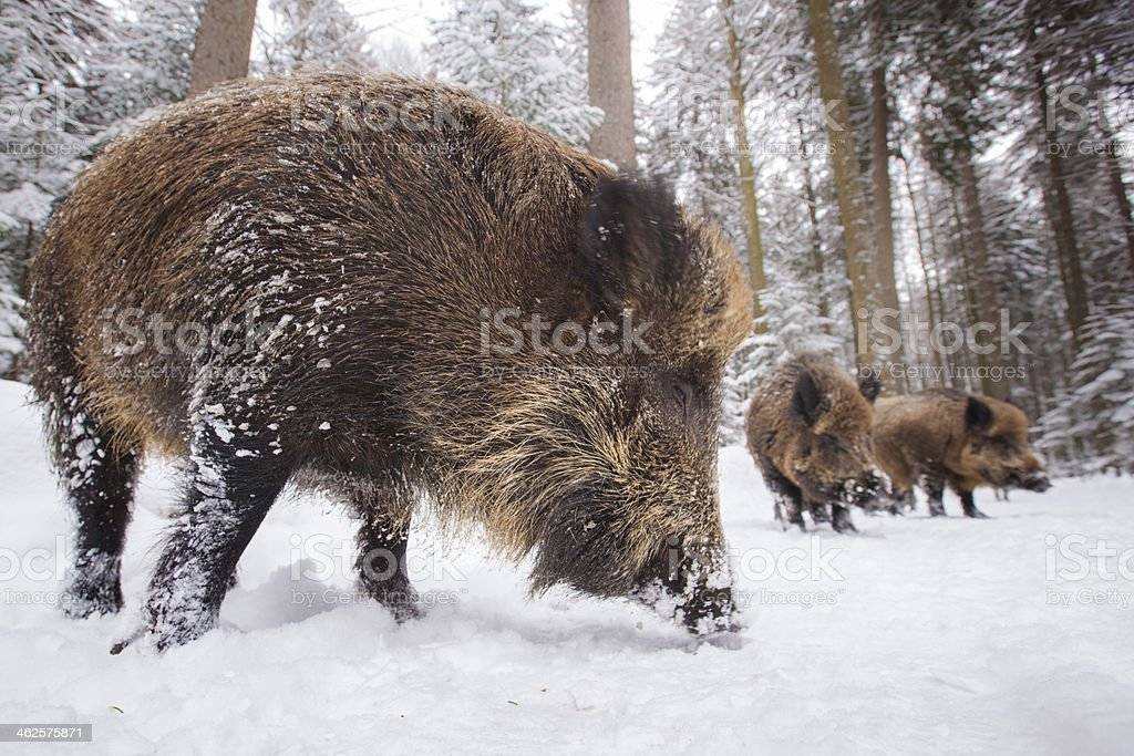 wild boar in a row stock photo