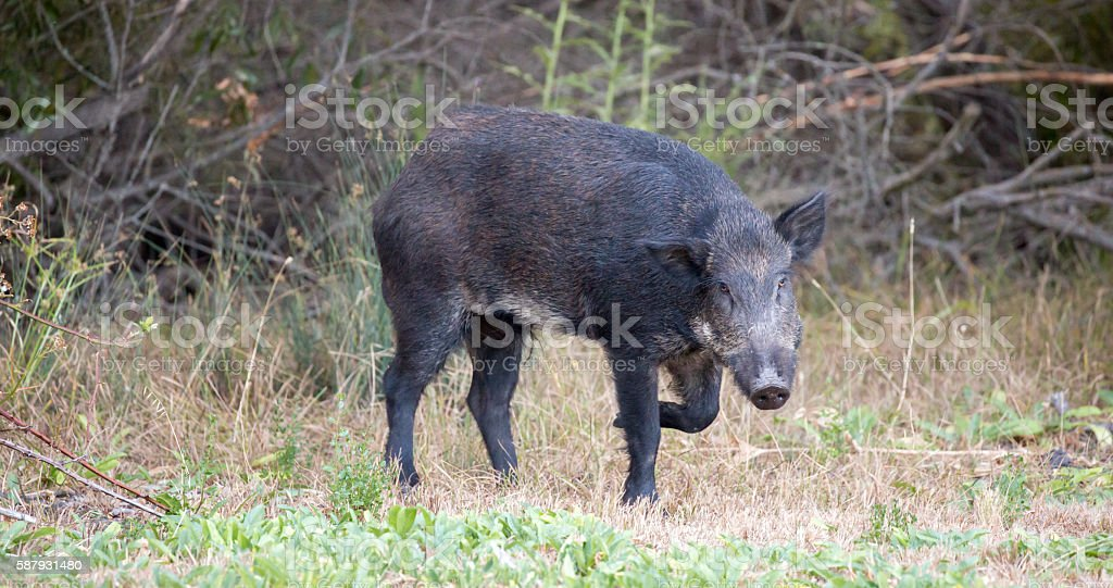 Wild Boar (Sus scrofa) in alert; Santa Clara County, California, stock photo
