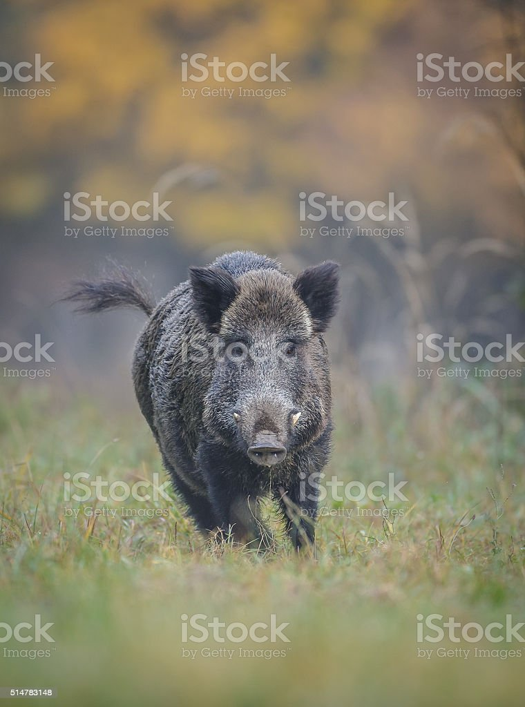 Wild boar in autumn running stock photo