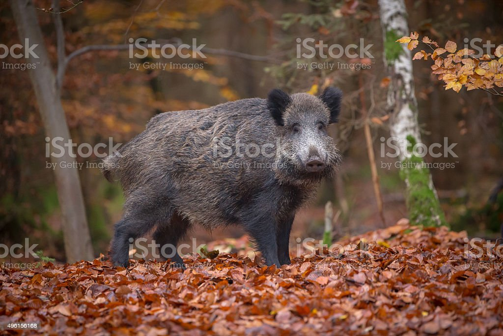 Wild boar in beech forest stock photo