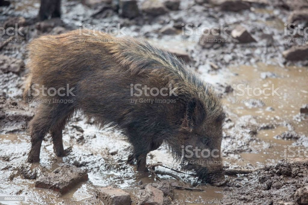Wild boar in english woodland. stock photo