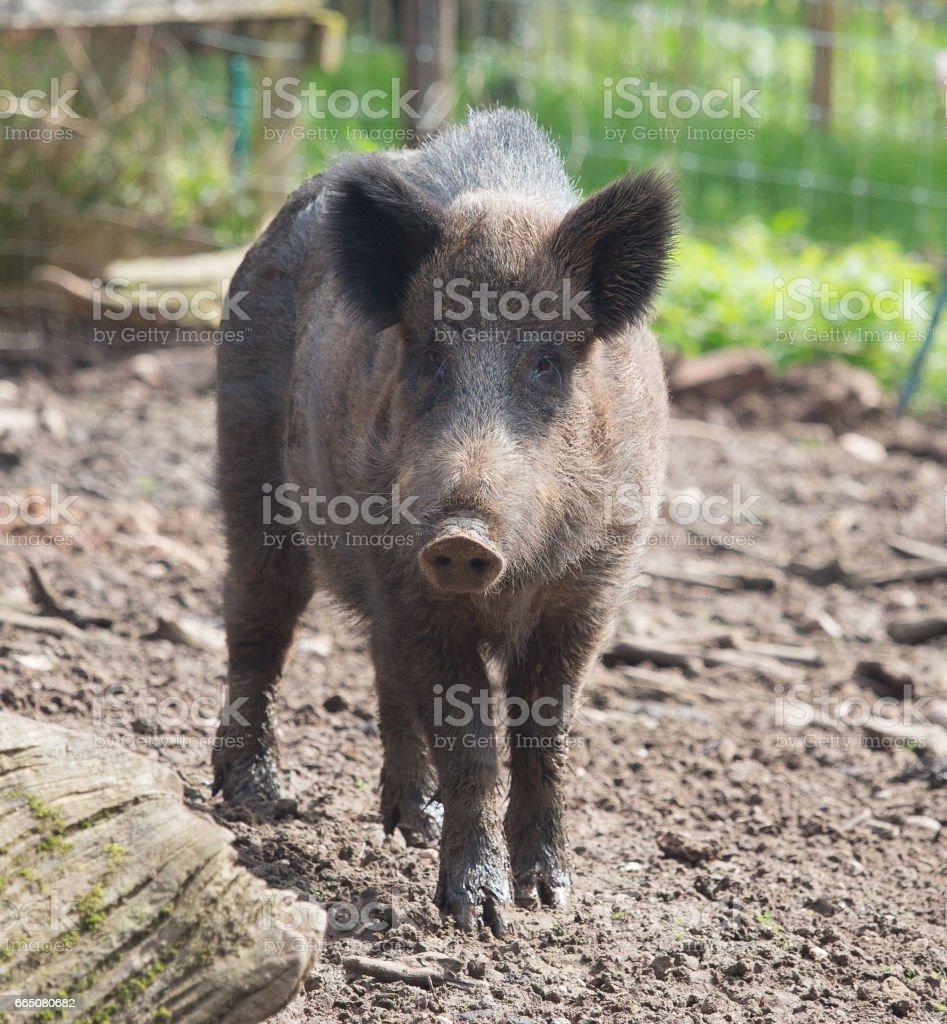wild boar in english woodland stock photo