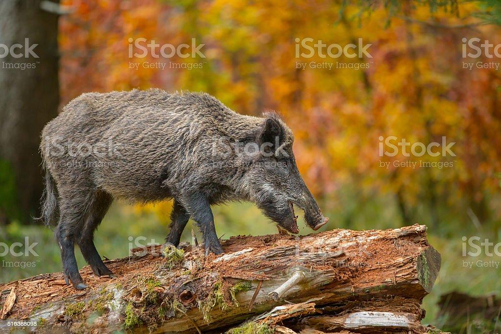Wild boar in fall stock photo