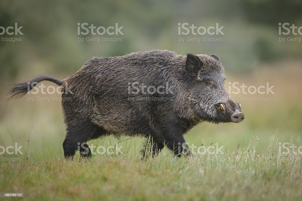 Wild boar in forest clearing stock photo