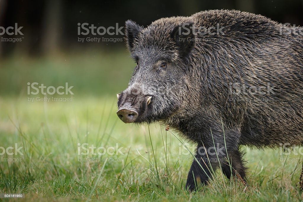 Wild boar in German forest stock photo