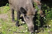 Wild boar in in Bialowieza National Park