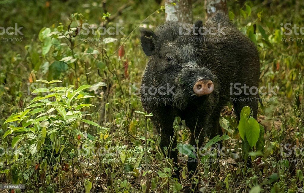 Wild boar in India stock photo