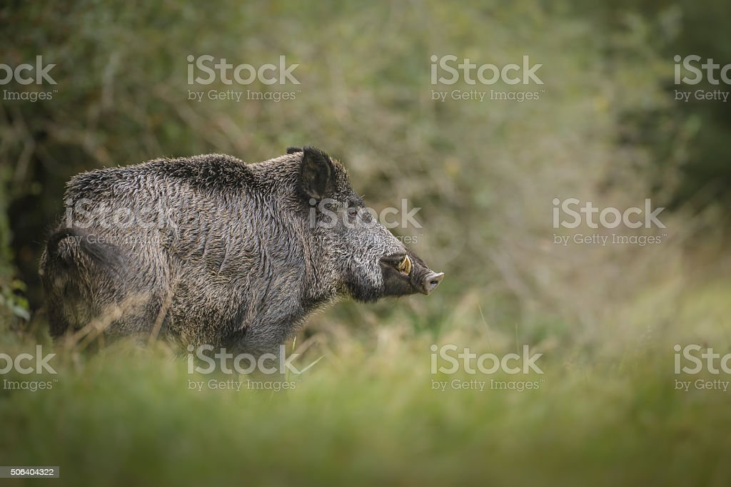 Wild boar in long grass stock photo