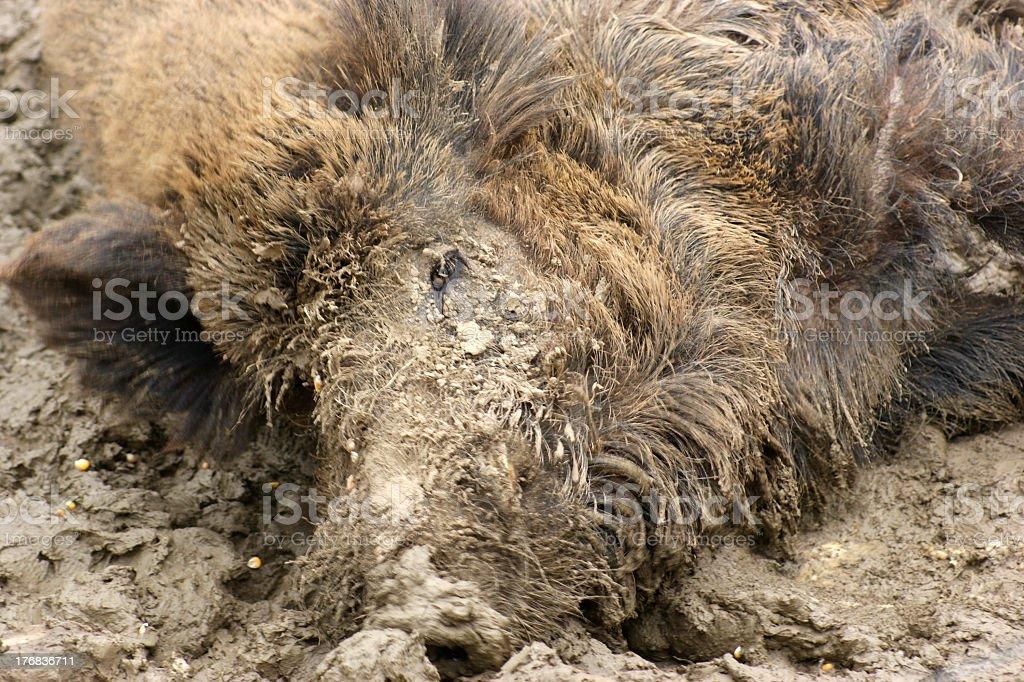 wild boar in muddy ambiance stock photo