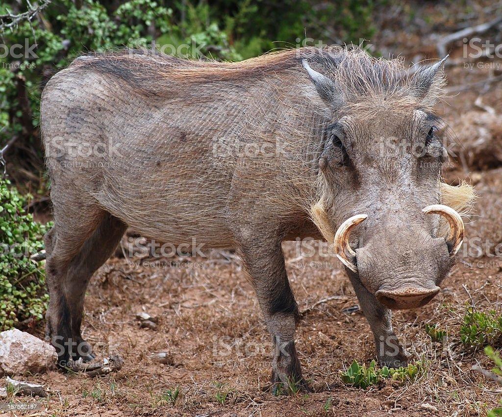 wild boar in nature africa - Wildschwein Afrika stock photo