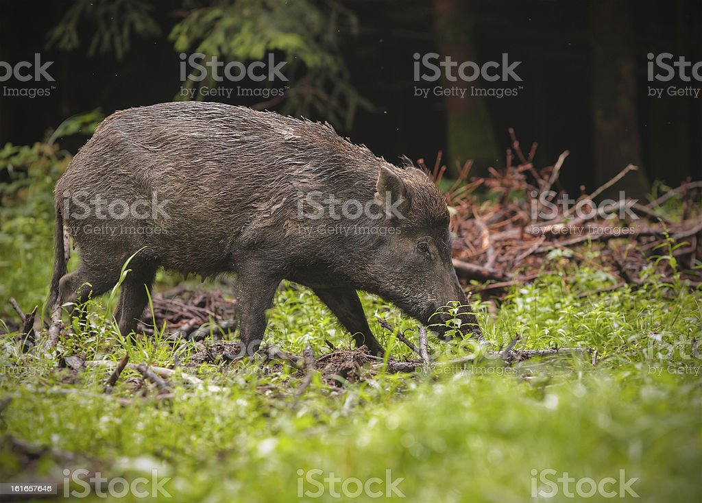 Wild boar in spring forest stock photo