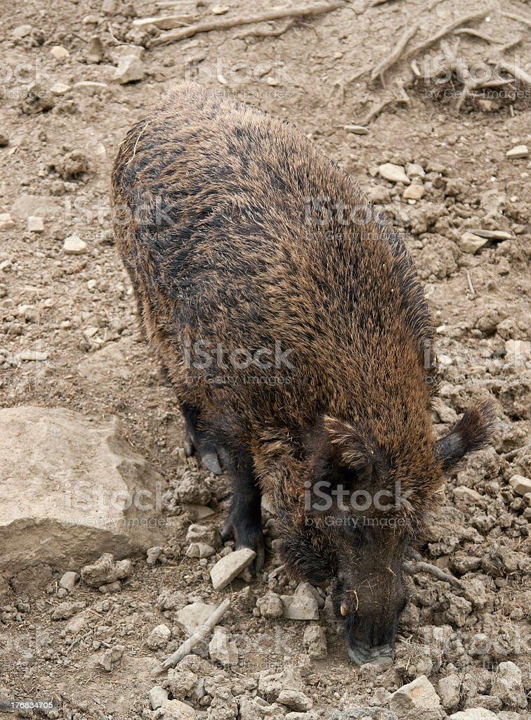 wild boar in stony back stock photo