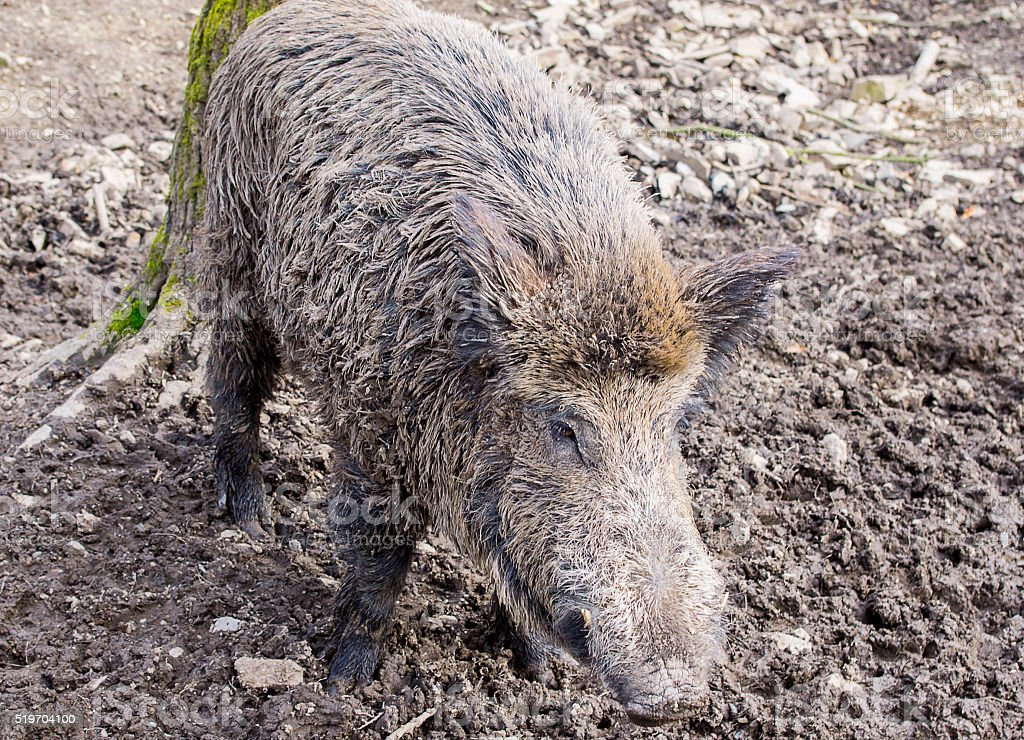 Wild boar in the forest stock photo