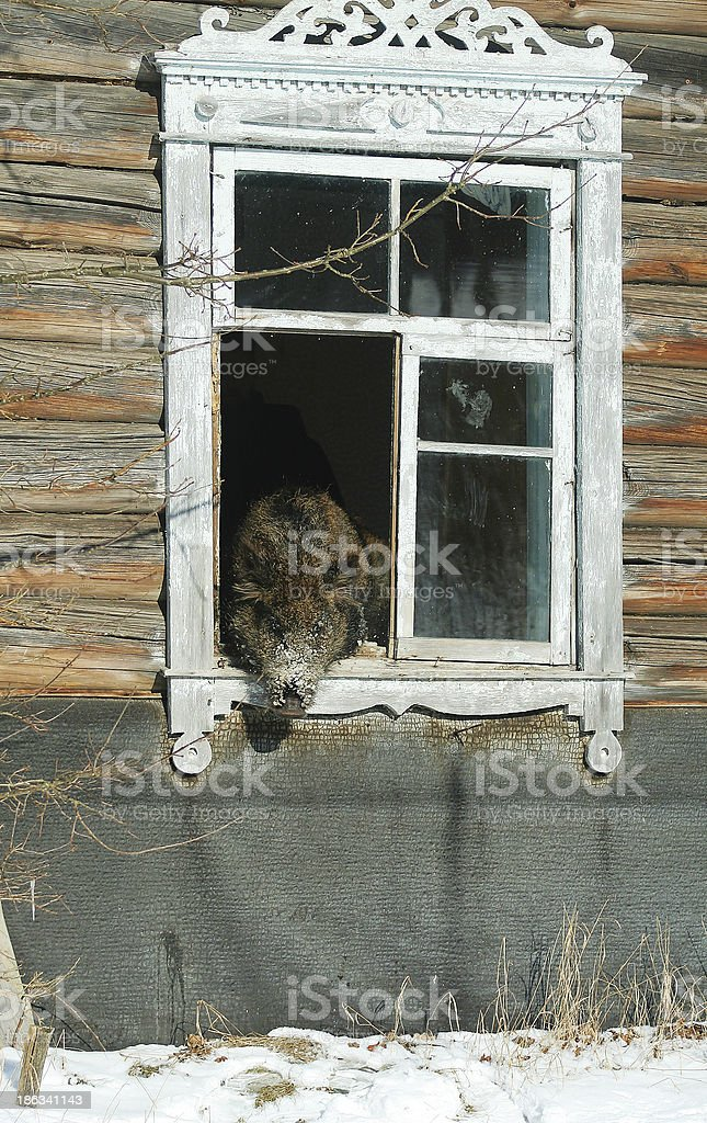 Wild boar in the house stock photo