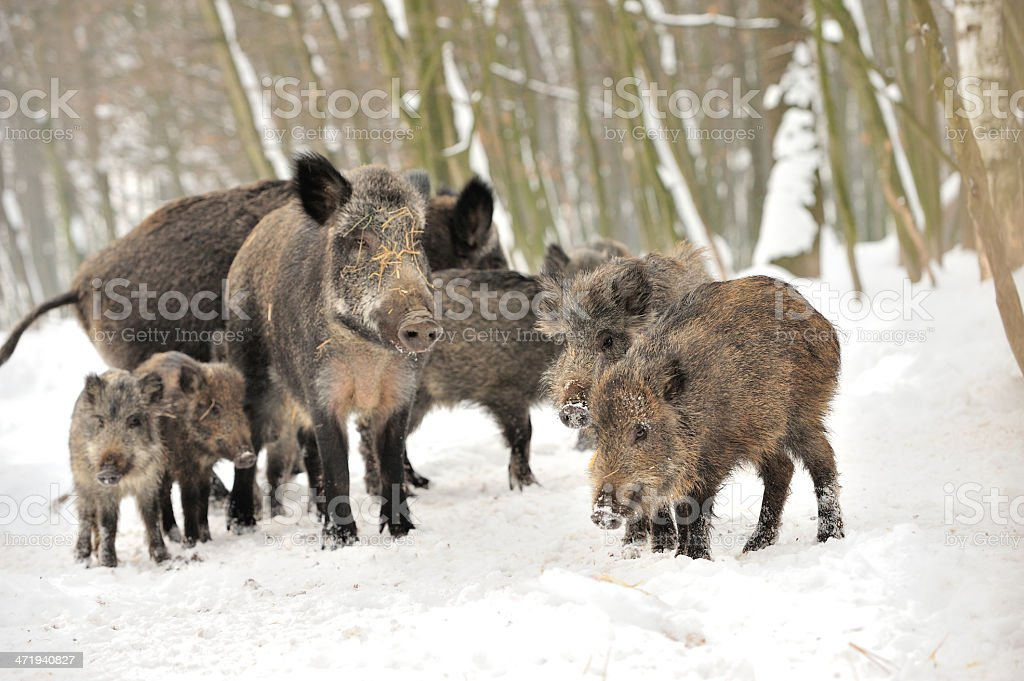 Wild boar in winter forest stock photo