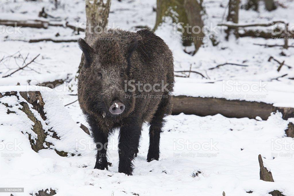 wild boar in winter royalty-free stock photo