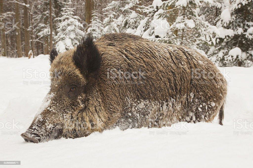 wild boar in wintertime royalty-free stock photo