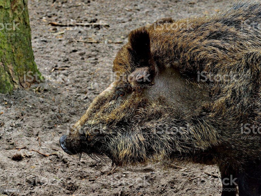 Wild boar in wood. Boar in dirt stock photo