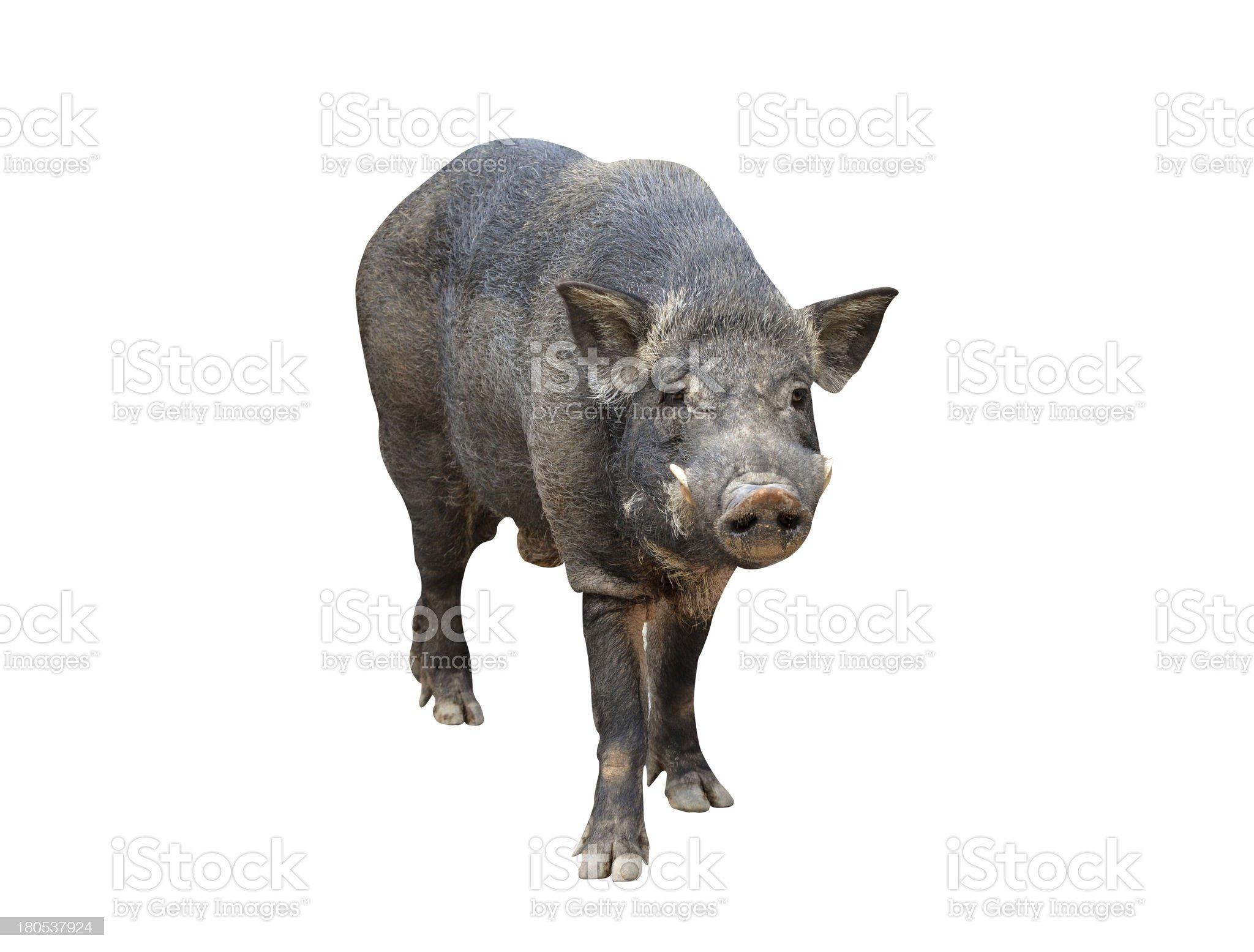 wild boar isolated royalty-free stock photo