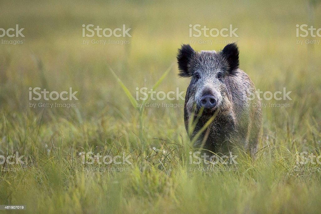 A wild boar looking straight ahead in a field of grass  stock photo