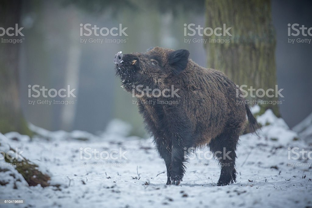 Wild boar male in the forest stock photo