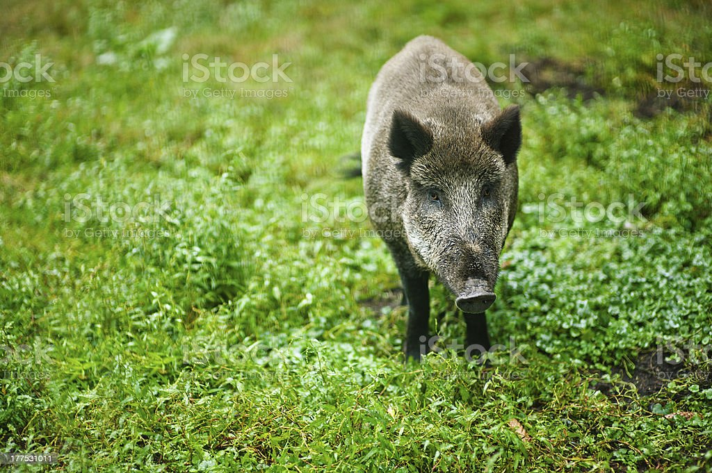 wild boar on background of green grass royalty-free stock photo