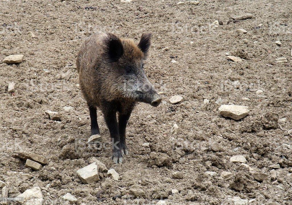 wild boar on earthy ground stock photo