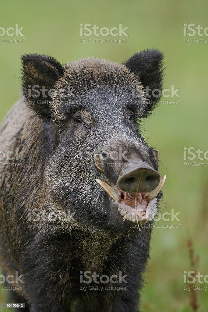 Wild boar on green stock photo